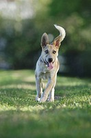 Tan coloured mixed breed dog runs toward object in front of camera, Canada, Alberta