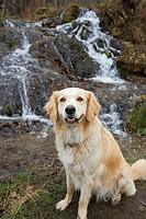 Tan coloured mixed breed dog seated near waterfall, Canada, Alberta