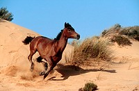 animal,horse,Arabian-horse
