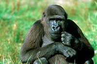 animal,monkey,lowland-gorilla