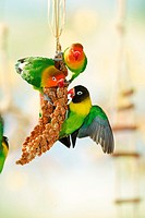 animal,bird,lovebirds