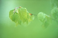 Beech tree leaf (Fagus sylvatica) in spring. Bavaria, Germany