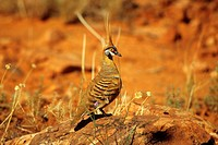 Spinifex Pigeon on rock - Geophaps plumifera