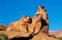 three alpine marmots - Marmota marmota