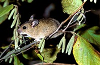 yellow-necked mouse on branch - Apodemus flavicollis