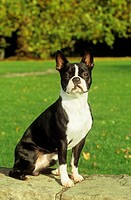 Boston Terrier - sitting