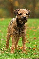 Border Terrier - standing on meadow