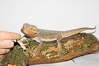 bearded dragon getting grasshopper - Pogona spp