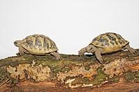two tortoises - Testudinidae spp