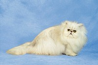 Persian cat - cut out