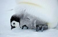 emperor penguin - cub - Aptenodytes forsteri