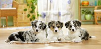 three Border Collie puppies - lying
