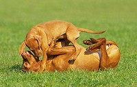 Magyar Vizsla and puppy - playing on meadow