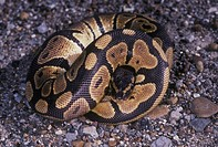Ball python Python regius, also called royal python When threatened, a ball python coils itself into a ball, hiding its head in the center