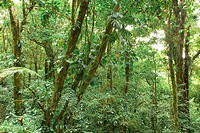 Costa Rica. Monteverde. Cloud Forest Preserve. Dense cloud forest along the El Camino trail