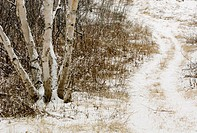 Birch tree and winter trail