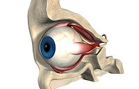 The muscles of the eye