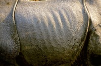 Closeup of very tough, rough skin of Indian Onehorned Rhinoceros, Rhinoceros unicornis, Linneaeus. Kaziranga National Park, Nepal