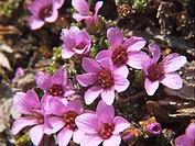 Purple Saxifrage (Saxifraga oppositifolia). Val d´Aosta, Italy