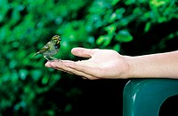 Jamaica, Port Antonio, feeding a humming bird (thumbnail)