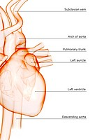 The heart and major vessels