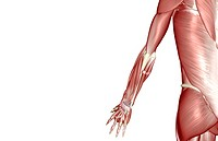 The muscles of the upper limb