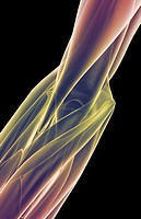 The muscles of the elbow