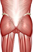 The muscles of the pelvis