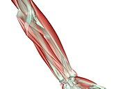 Forearm musculoskeleton
