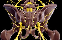 The nerves of the pelvis