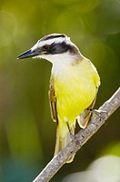 Great Kiskedee (Pitangus sulphuratus)