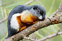 Prevost's squirrel (Callosciurus prevostii)