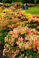 Azalea (Rhododendron hybr.) in Royal Botanic Gardens Kew in Richmond, London. England, UK