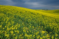 Colza fields at spring. Valensole village and plateau. Provence. France