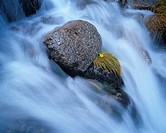 Australia, New South Wales, alpine buttercup and rocks in stream