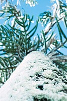 Monkey puzzle tree covered with snow, low angle view