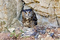 Eagle Owl with Eurasian Tawny Owl as a prey, Bubo bubo and Strix aluco