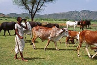 cattle grazing , Shepherd looking cattles by Binocular , rajasthan