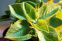spices , ajowan plant , ajwain trachysperaus ammi , india
