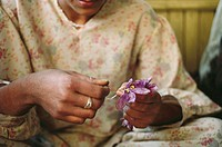 man collecting saffron , jammu & kashmir , india