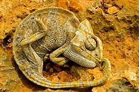 A Chameleon lies on a stone
