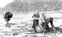 Inveraray, Collecting Seaweed c1890