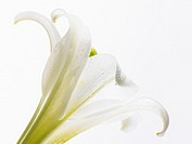 White Lily (thumbnail)