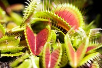 Venus flytrap Dionaea muscipula  Venus flytraps are carnivorous plants that capture insects in their hinged two-lobed leaves  When an insect lands in ...