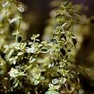 Lemon thyme Thymus citriodorus