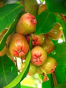 Water apples Syzygium aqueum on their tree  The native range of this plant extends from southern India to eastern Indonesia  It is also widely cultiva...