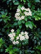 Choisya ternata  Flowers and foliage