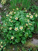 Caltha palustris var  alba  White flowered form of Marsh marigold