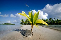 Coconut begin to grow. Tuamotu archipelago. French Polynesia