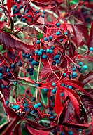 Virginia creeper Parthenocissus quinquefolia berries and foliage, in its autumn colours  This plant is a creeping vine, native to North America, that ...